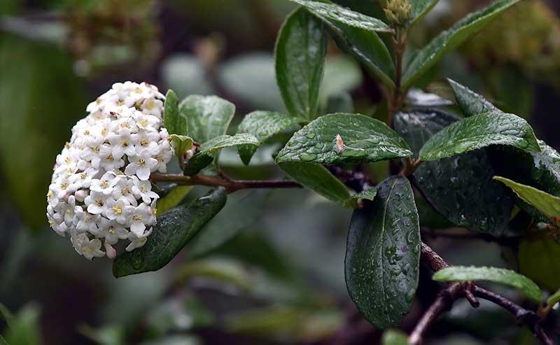 Viburnum xburkwoodii