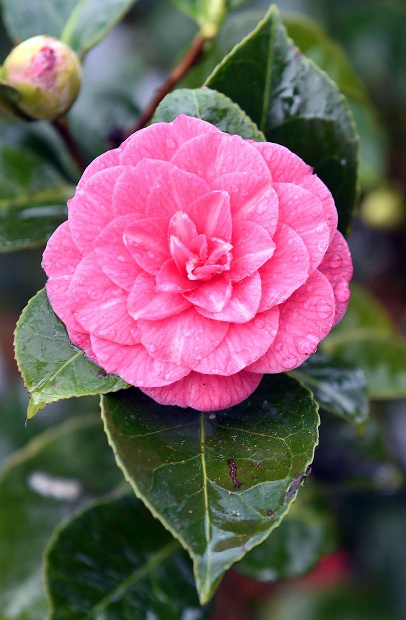 Camellia japonica 'Dryade'