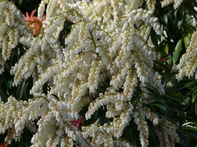 Pieris japonica 'Forest Flame'