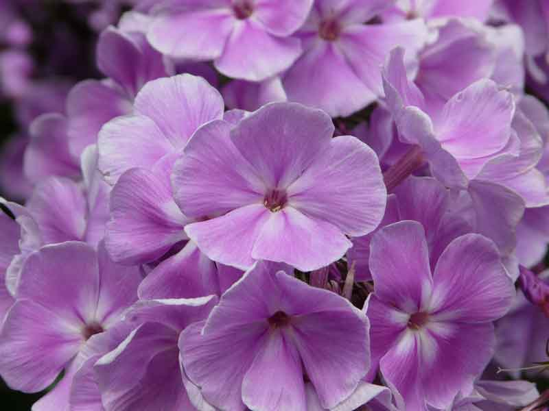 Significant Plants in the Herbaceous Borders - Phlox
