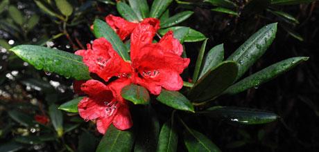 Rhododendron elliottii