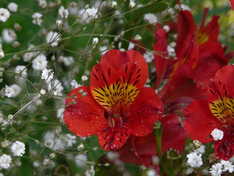 Alstroemeria Red Baron