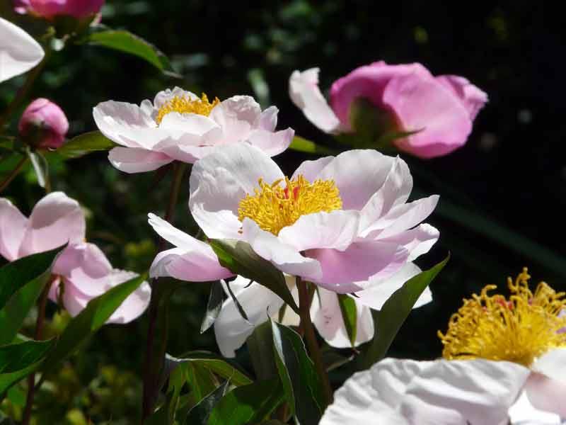 Paeony Camellia Borders