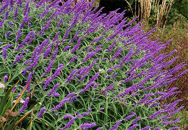 Salvia Leucantha 'Midnight'