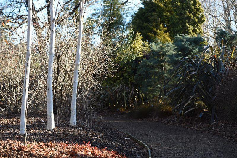 Betula utilis ssp jacquemontii