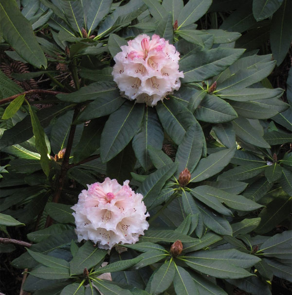 Rhododendron 'Ina Hair'