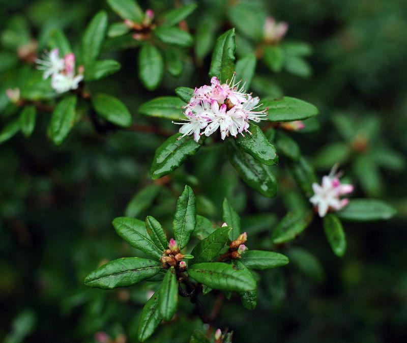 Rhododendron scabrifolium var spiciferum