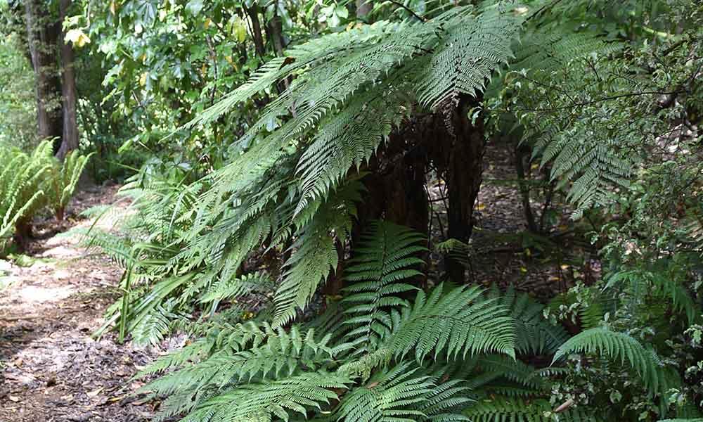 Fern Gully at Dunedin Botanic Garden.