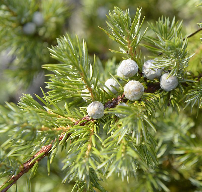 Juniperus rigida var conferta