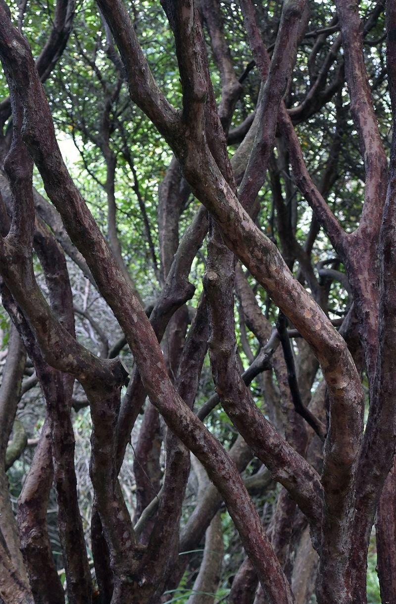 Rhododendron stems