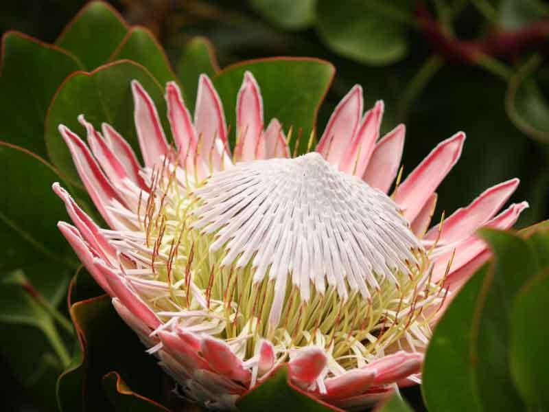 Protea cynaroides Southern African Garden