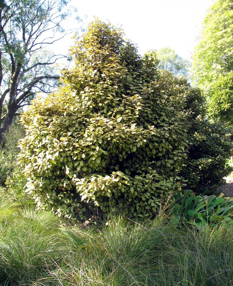 Horopito (Pseudowintera colorata, or pepper tree)