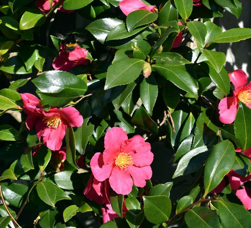 Camellia in the Botanic Garden