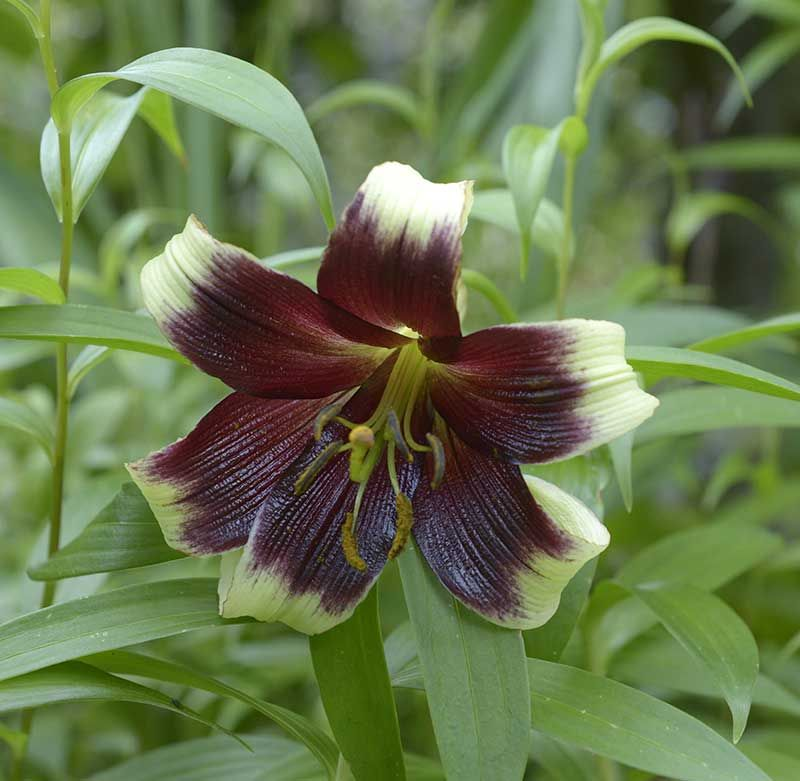 Lillium nepalese
