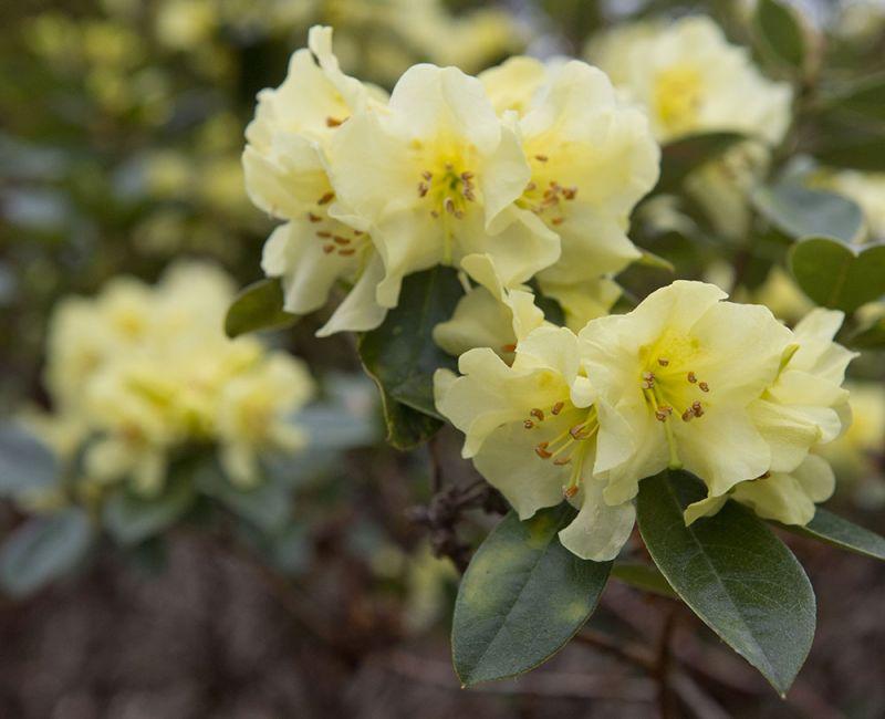 Rhododendron 'Chrysomanicum'