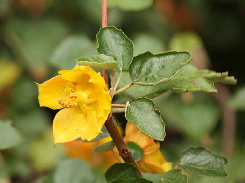 Fremontodendron mexicanum Mexican Border