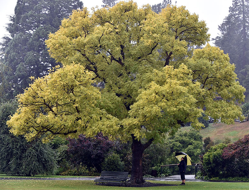 Golden Ash, Fraxinus excelsior 'Aurea'