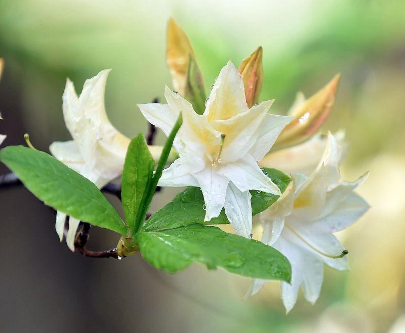azalea-cream.jpg