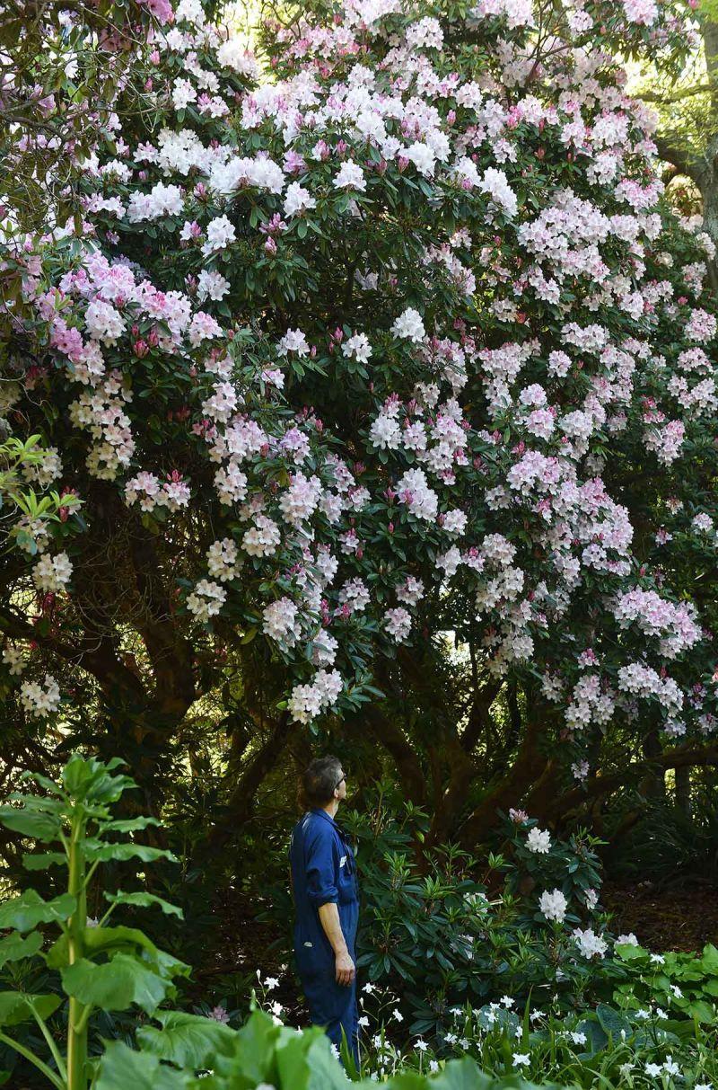 Rhododendron 'Halopeanum'