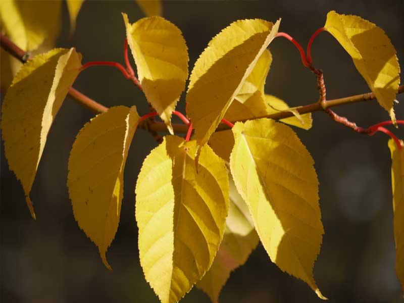 Acer Davidii Arboretum