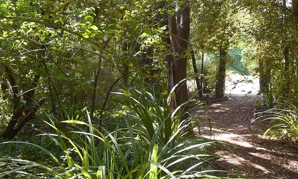 Lovelock Bush at Dunedin Botanic Garden.