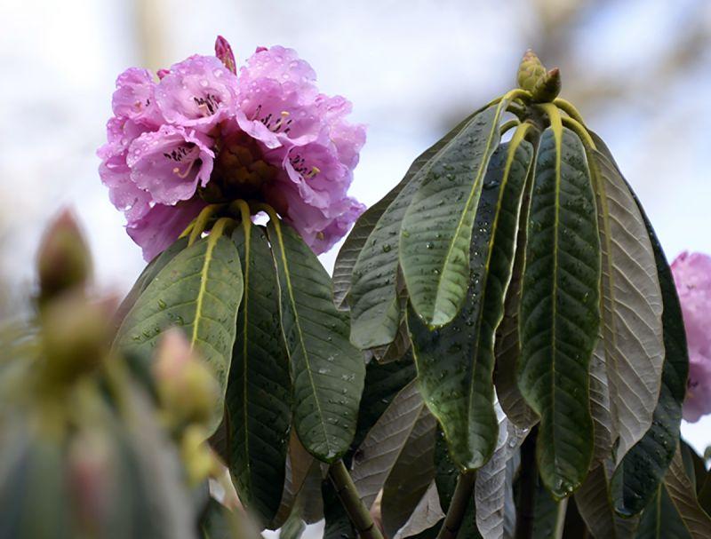 Rhododendron magnificum