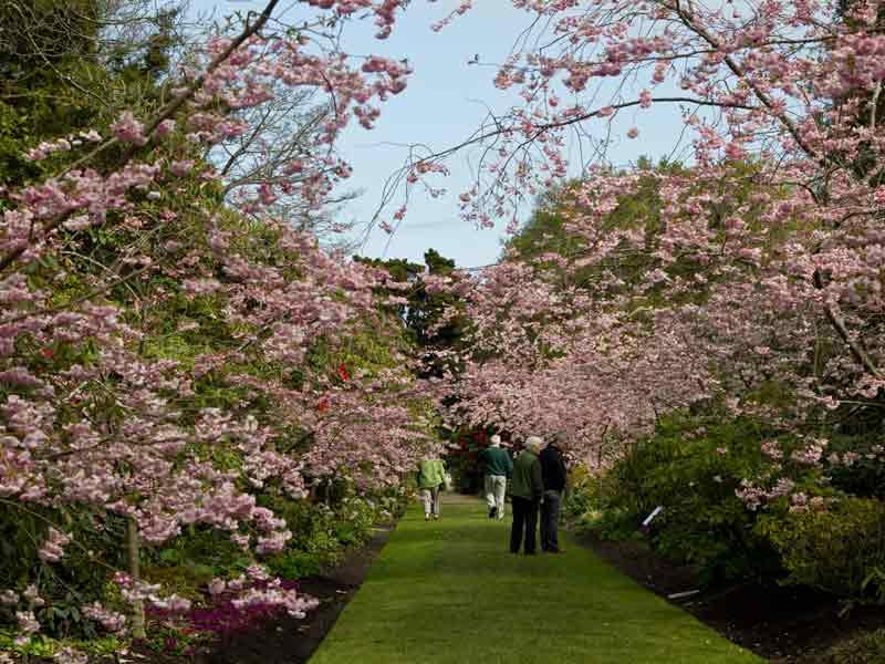 Rhododendron Dell Cherry Walk