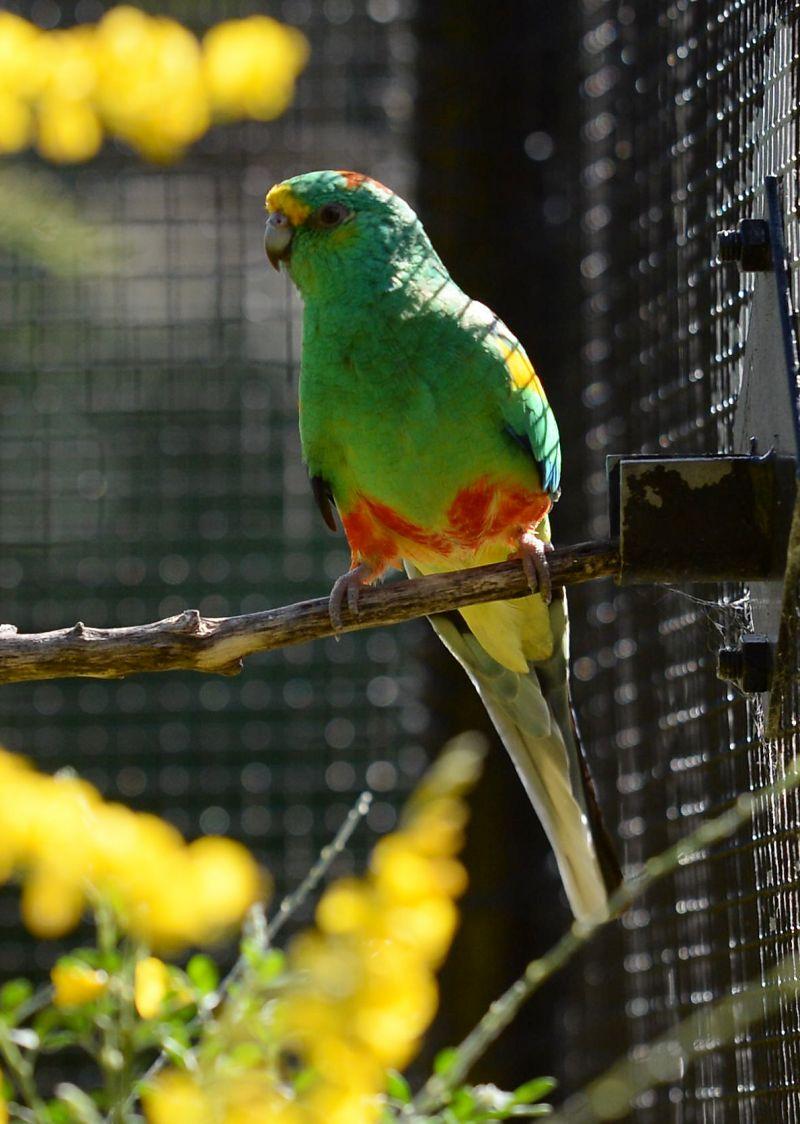 The mulga parrot ( Psephotellus varius)