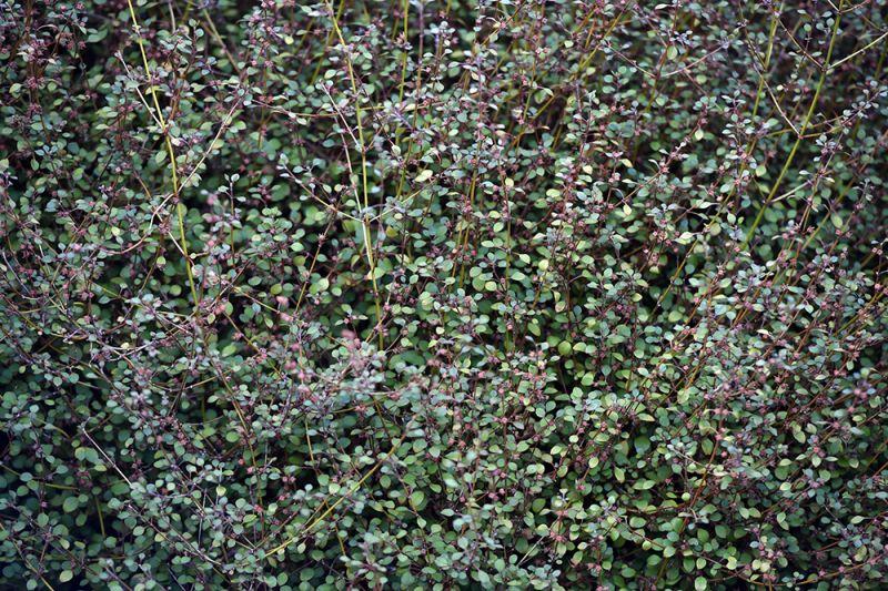 Teucrium parvifolium