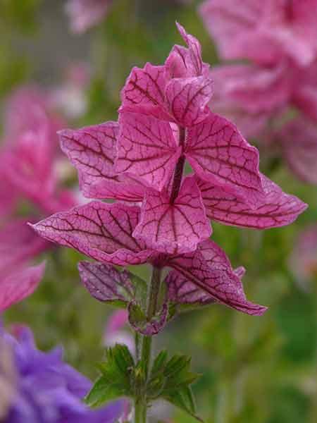 Salvia-viridis.jpg