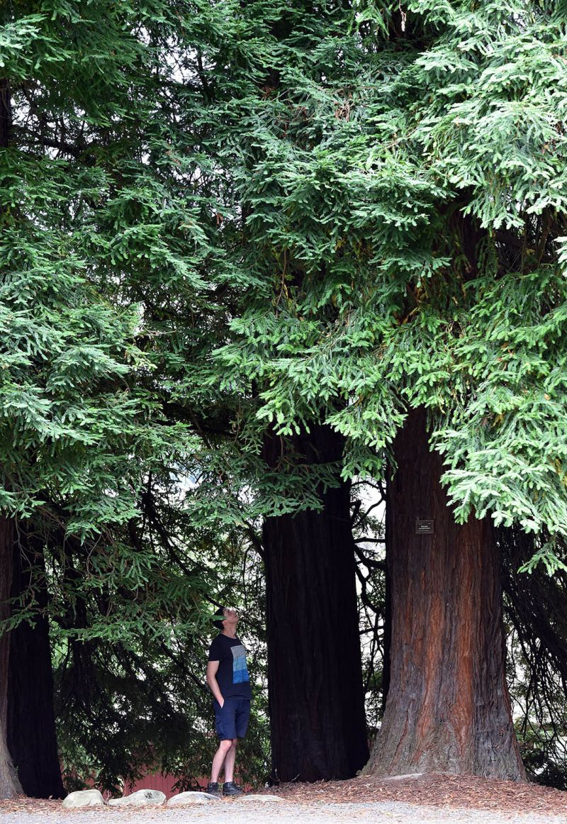 Sequoia sempervirens with person