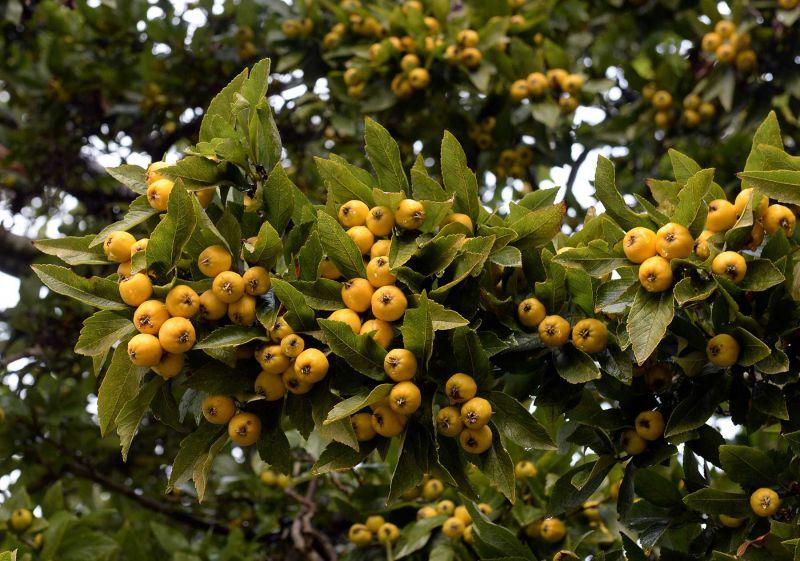 Crataegus pubescens f. stipulacea