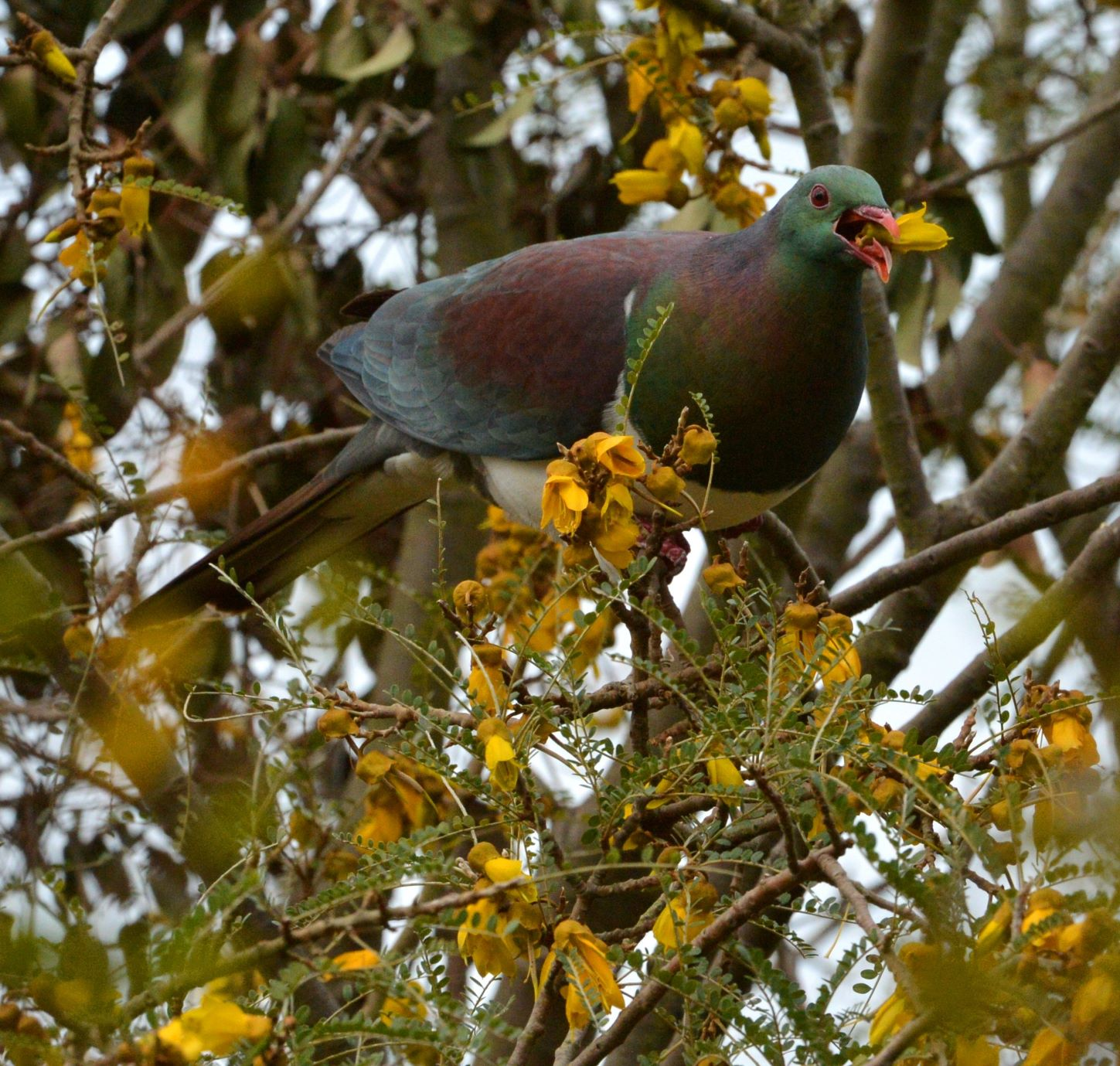 Wood pigeon on kowhai