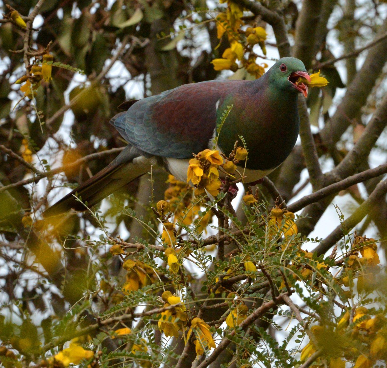 Wood pigeon on kowhai