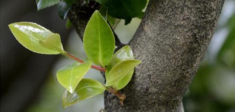 Pruning buds