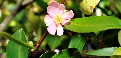 Camellia puniceiflora