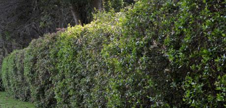 A living hedge