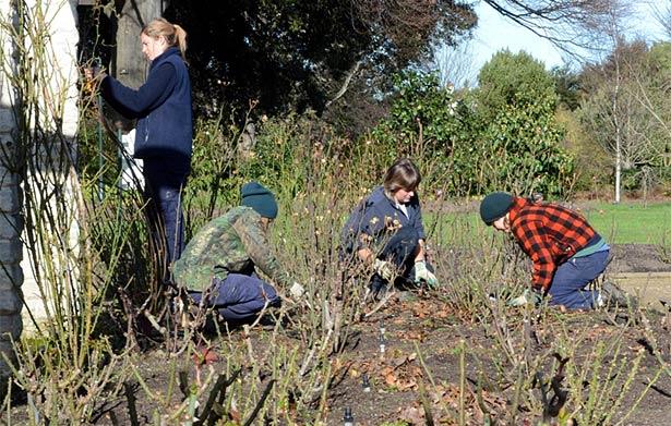 Botanic Garden staff pruning roses.