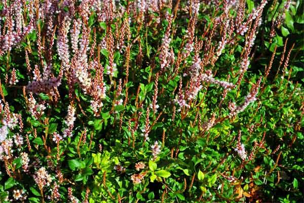 Polygonum vacciniifolium