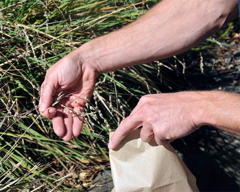 Collecting seed