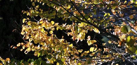 First Autumn Colour