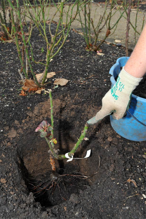Planting bare-rooted roses