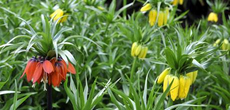 Fritillaria imperialis.