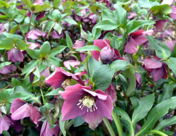 Helleborus 'Flash Gordon'